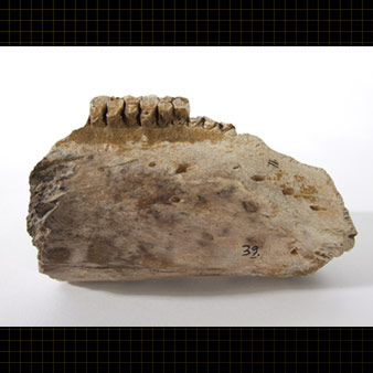 Segment of a jaw and teeth of a fossil dinosaur ( Edmontosaurus sp. )