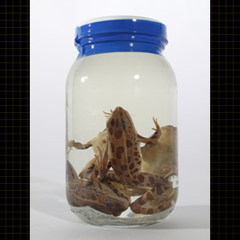 Jar containing three Northern Leopard Frogs. These frogs are green and have large brown spots.