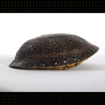 The carapace of this Blanding's Turtle is speckled with light-colored flecks on a dark background.