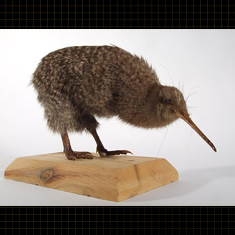 A Little Spotted Kiwi placed on a pedestal. It is characterized by a long thin beak, a rounded body and wings atrophied.