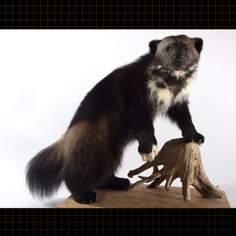 This wolverine has a shaggy appearance due to its long hairs.