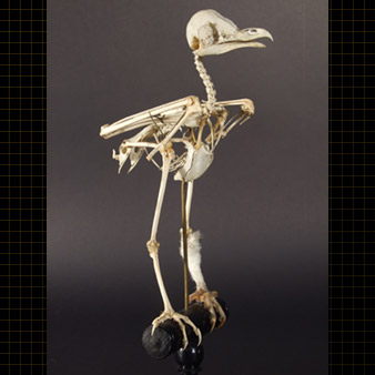 Entire skeleton of a Barn Owl