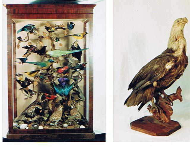 Here are two photographs from the Brome County Historical Society collection. The photograph on the left shows an old cabinet filled with birds, while the one on the right shows a Bald Eagle perched on a stump.